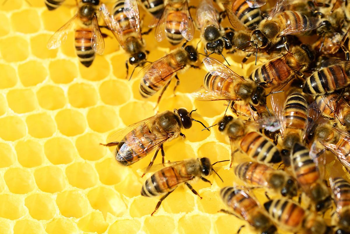 Naturkundemuseum Leipzig lädt zum Bienennachmittag