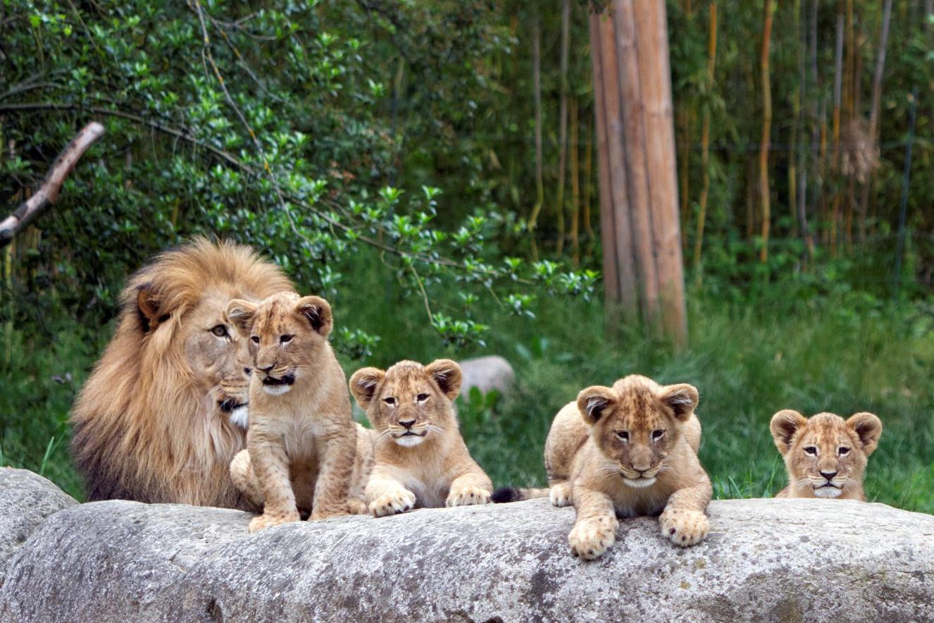 Namensvorschläge für Junglöwen im Zoo Leipzig gesucht
